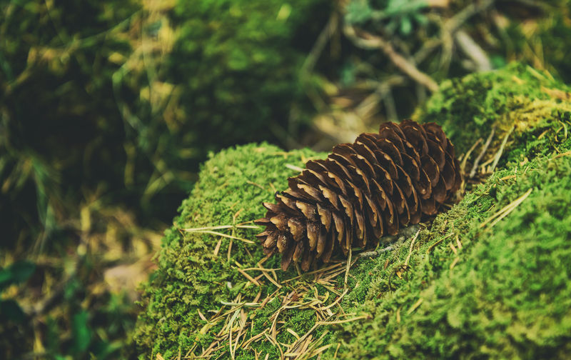 Close-up of pine cone on field