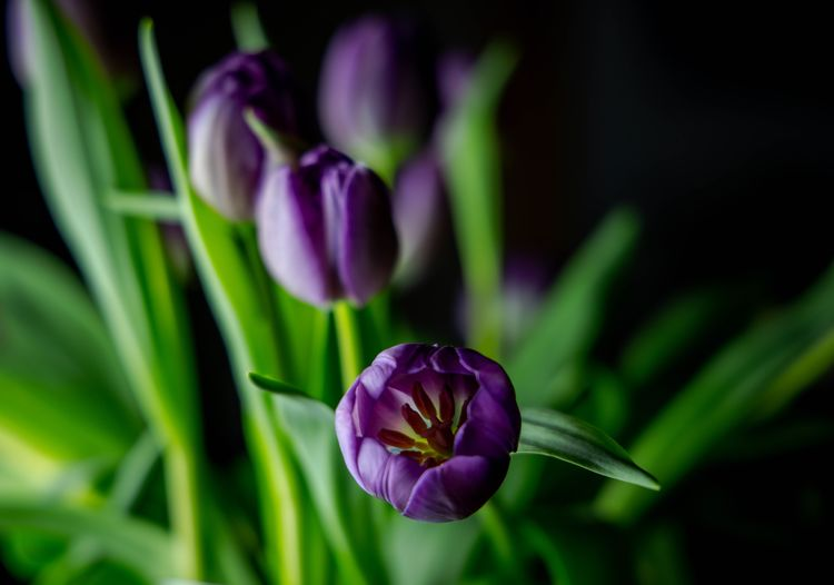 Purple tulip Tulips Flowering Plant Flower Plant Fragility Vulnerability  Freshness Beauty In Nature Petal Growth Close-up Inflorescence Flower Head Purple Focus On Foreground Nature No People Green Color Day Plant Stem