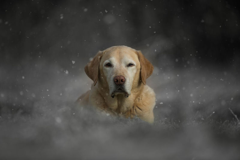 Labrador in the snow Animal Themes Cold Temperature Day Dog Domestic Animals Labrador Retriever Looking At Camera Mammal Nature No People One Animal Outdoors Pets Portrait Retriever Snow Snowing Winter