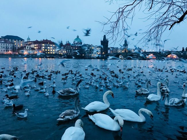 I met swans in Prague:) Large Group Of Animals Animals In The Wild Water Bird Animal Wildlife Animal Themes Flock Of Birds Nature Cold Temperature Winter Snow Swan