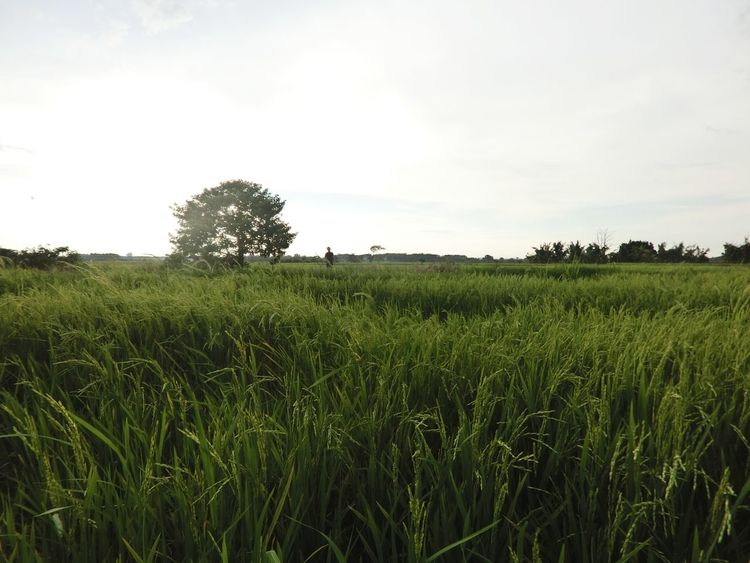 Grass Nature Social Issues Growth Sky Tree Landscape Green Color No People Outdoors Agriculture Freshness Day Yields
