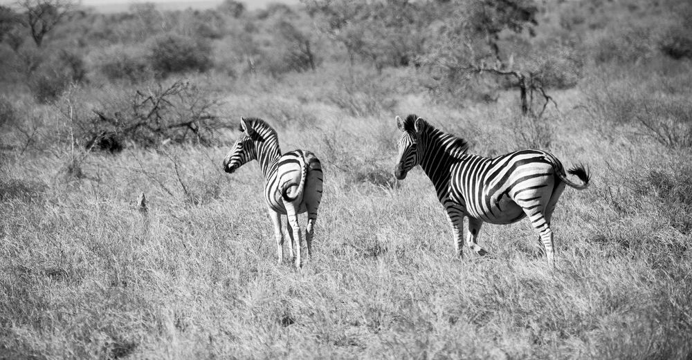 View of zebras and zebra on field