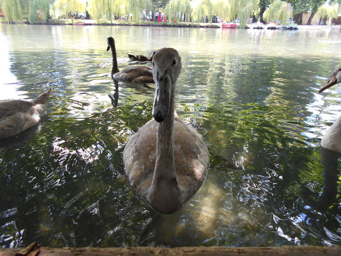 CloseupCute AnimalsReflectionsUgly DucWatter ReflectioWildlifeAnimal Themes Animals In The Wild Duck Lake Feel The Journey