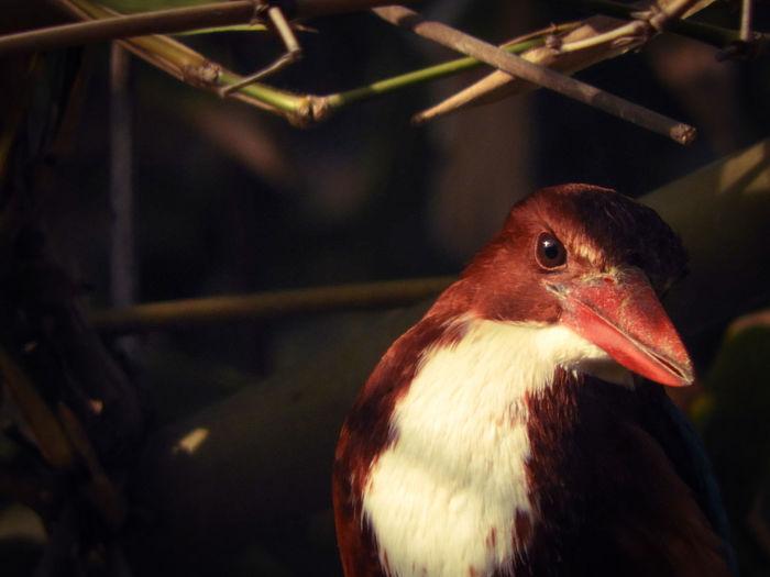 Halcyon Smyrnensis Halcyon Smyrnensis Tree Outdoors Kingfisher White Throated Kingfisher Kingfisher Bird Spring Animal Themes India Bird Red Beak Closing Close-up HEAD Perching Animal Eye Branch