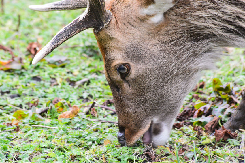 Animal Themes Animals In The Wild Antlers Close-up Day Deer Stag Grass Japanese Deer Japanese Spotted Deer Mammal Nature No People One Animal Outdoors Peak Wildlife Park Sika Black Tailed Deer Sika Deer Spotted Deer Stag