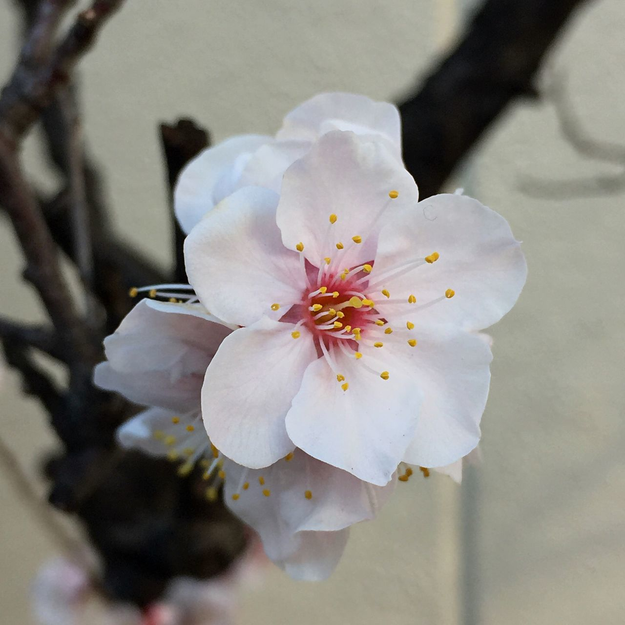 flower, fragility, petal, beauty in nature, blossom, white color, flower head, freshness, nature, growth, springtime, botany, pollen, close-up, apple blossom, stamen, orchard, no people, branch, day, tree, plum blossom, outdoors, blooming