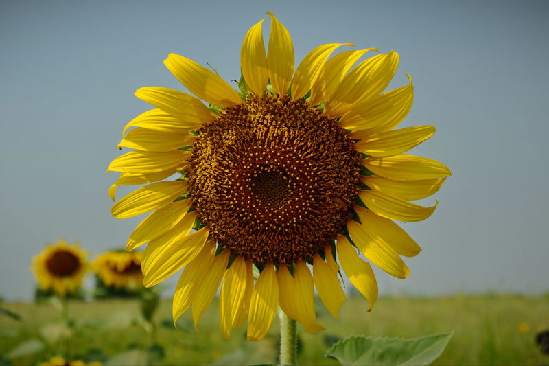 Flower Flowering Plant Yellow Freshness Flower Head Beauty In Nature Sunflower Close-up Nature