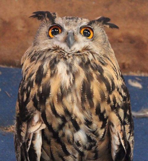 Bird Bird Of Prey Animals In The Wild Animal Wildlife Vertebrate One Animal Owl