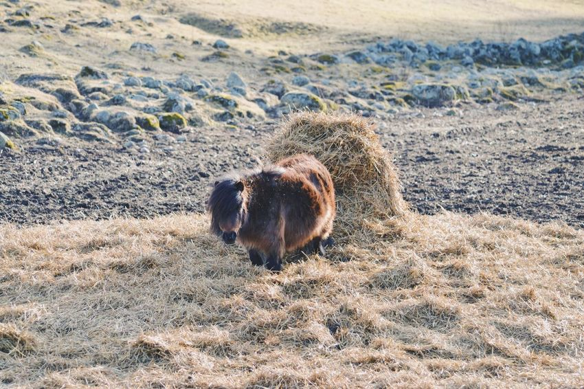 Pony standing in hay One Animal Nature Animal Themes Mammal Outdoors No People Day Domestic Animals Cute Miniature Pony Farm Farm Life Animal Portrait Horse Winter Hay