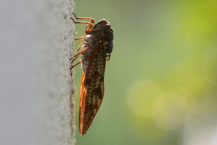 ゼミ 蝉 Cicada 夏 Sammer