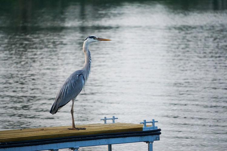 Heron or crane