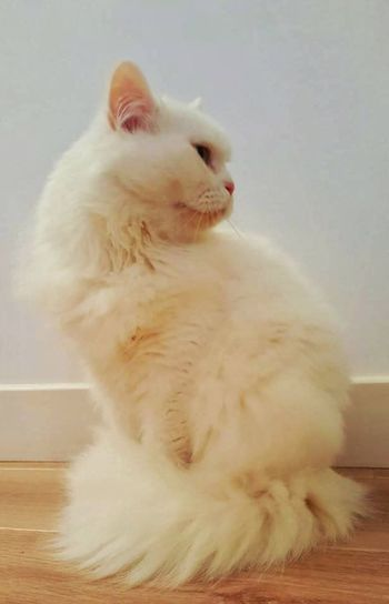 Animal Themes Pets Cat Indoors  Close-up White Color At Home White Adorableness Cute♡ Pure Love ❤ Pet Love Charming Whiskers