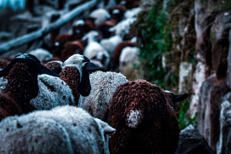 Close-up of sheep on rock