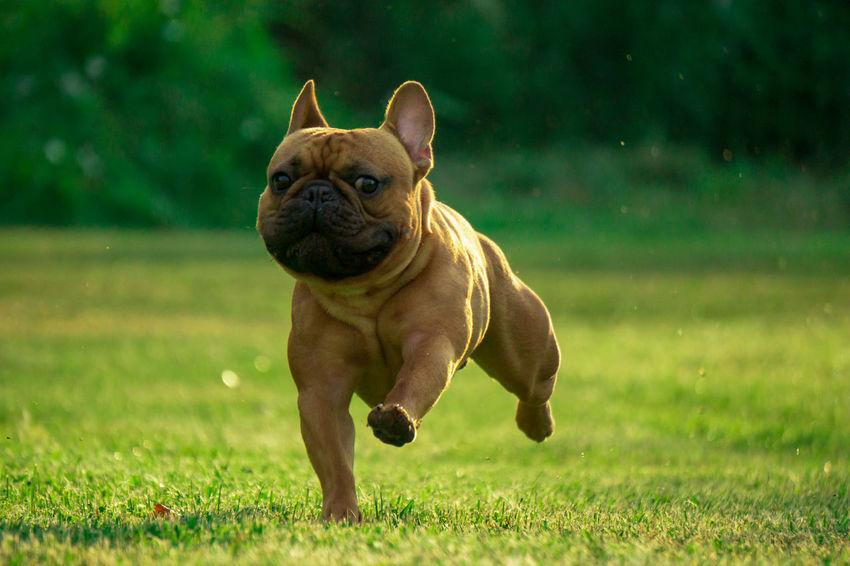 Französische Bulldogge  Hundefotografie Tierfotografie Dogs Of EyeEm Hundeportrait EyeEm Selects Düsseldorf EyEmselect Butsosexy Dogs Hunde Dogs Life Twerk #hundefoto Pets Portrait Dog Puppy Bulldog Grass