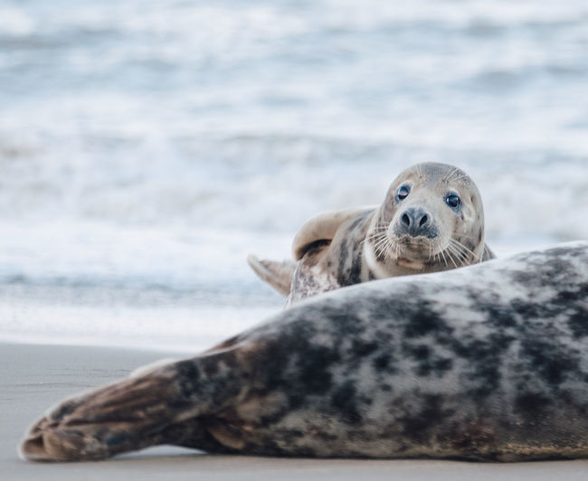 Portrait of a seal on beach