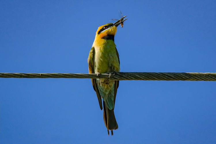 Rainbow bee-eater with lunch Animal Bird Animal Themes Vertebrate One Animal Animal Wildlife Animals In The Wild Perching Blue Clear Sky Sky No People Copy Space Low Angle View Day Nature Outdoors Green Color Full Length Branch Rainbow Bee Eater Bee Eater Birding Shepparton