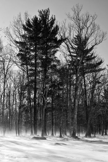 Sentinels Black And White Bnw Nature Bnw_collection Trees Trees And Nature Snow Winter Hiking Forest Sunlight Cold