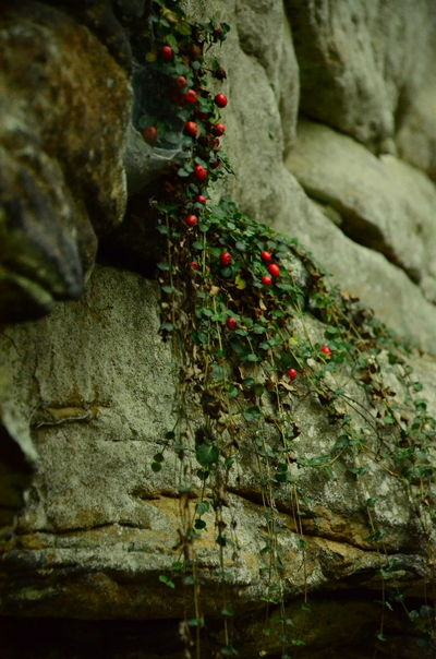 Rock Rock - Object Solid Close-up No People Nature Food And Drink Day Food Fruit Outdoors Plant Focus On Foreground Tree Freshness Green Color Healthy Eating Selective Focus Berry Fruit Rough Lichen