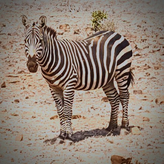 Zebra Animals In The Wild Safari Animals Animal Themes Kenya Tsavo Est Tsavo East