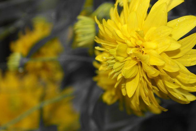 Flower Head Flower Yellow Springtime Petal Daffodil Sunflower Close-up Plant