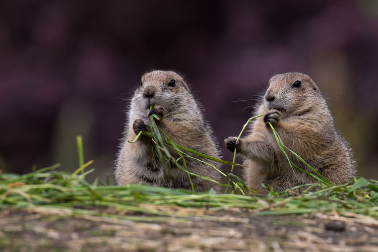 Animal Close-up Grass, Sunny, Season, Colorful, Flora, Cute, Leaf, Day, Sun, Macro, Flower, Flowers, Spring, Background, Beautiful, Floral, Blossom, Summer, Petal, Plant, Garden, Beauty, Field, Bloom, Green, Color, Closeup, Blooming, Natural, Grass, Growth, Gardens, Orga No People Prairiedog Two,eating,Nordhorn