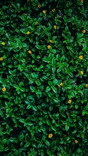 Backgrounds Full Frame Leaf Close-up Plant Green Color Woods Lush Foliage Plant Life Leaves Grassland Fern Lush - Description In Bloom Blossom Fall Leaf Vein Fallen Apple Blossom Stamen Pistil Cherry Blossom Focus Maple Leaf Frond Blooming Magnolia Exotic Day Lily Spring