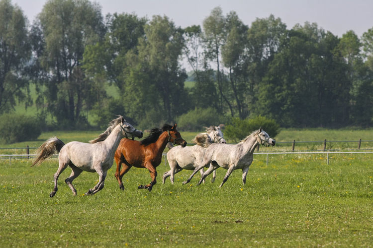 Animal Themes Arabian Horses Domestic Animals Field Gallop Galloping Grass Green Color Herd Of Horses Horse Horse Stud Horses Mammal Nature No People Outdoors Paddock Tree