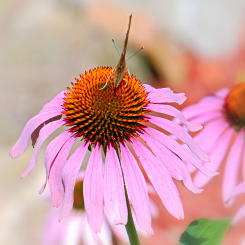Pollenflug Pollination Echinacea Purpurea Sonnenhut Nature Flower Pollen Day Outdoors Blooming Insect Plant Growth Fragility Petal Freshness Close-up Beauty In Nature No People Animals In The Wild Coneflower Flower Head Animal Themes Focus On Foreground Eastern Purple Coneflower EyeEmNewHere C-Falter C-Falter Auf Sonnenhut