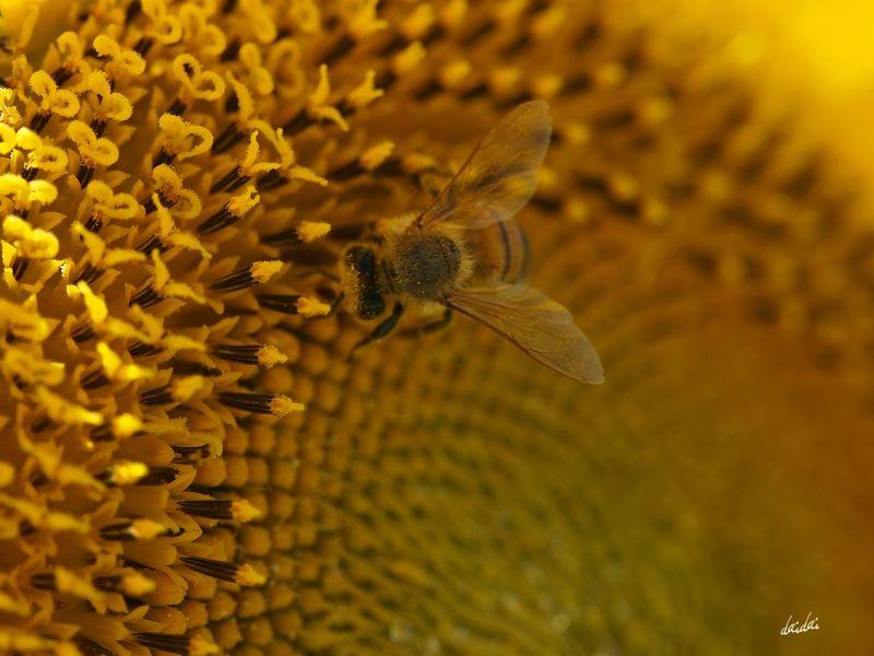 負けずに働きましょ E-PL3 Flower Sunflower 向日葵 Bee 蜂 MyZoomUp 柳川ひまわり園