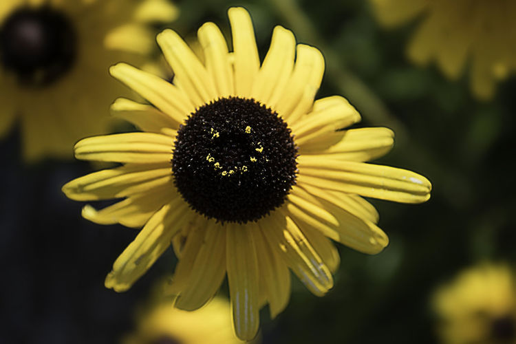 Growth Nature Beauty In Nature Black Eyed Susan Face In Nature Flower Head No People Pollen Smile Urban Yellow Paint The Town Yellow Perspectives On Nature The Great Outdoors - 2018 EyeEm Awards