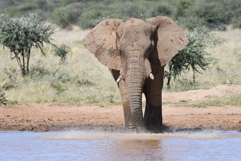 Elefant blowing air in water Elephant Animal Themes Animals In The Wild Animal Animal Wildlife African Elephant Mammal Safari Tree Water Animal Body Part Animal Trunk Outdoors Day Nature One Animal No People