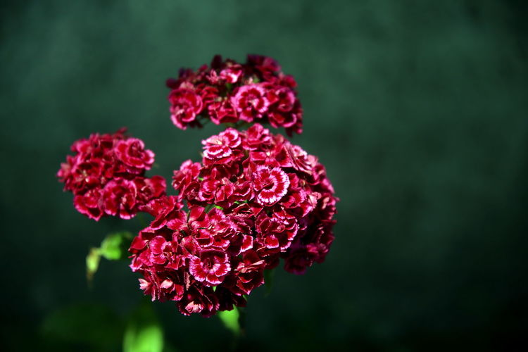 Small red carnation flowers on a neutral background