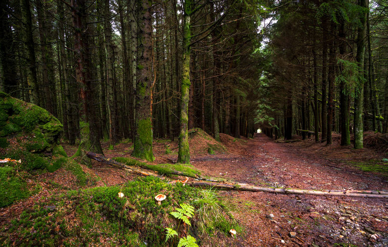 Cringle Plantation Beauty In Nature Day Direction Environment Footpath Forest Growth Isle Of Man Land Nature No People Non-urban Scene Outdoors Pine Tree Pine Woodland Plant Scenics - Nature The Way Forward Tranquil Scene Tranquility Tree Tree Trunk Trunk WoodLand