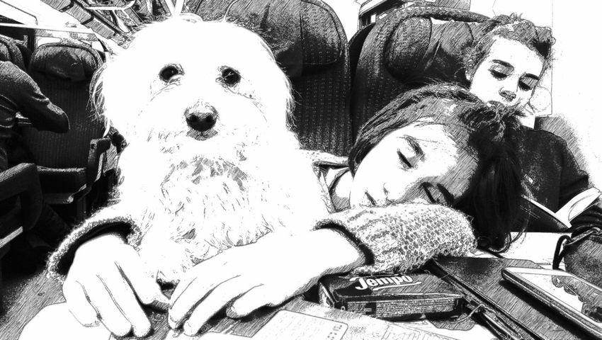 Dog Train Sleeping Maltese Dog