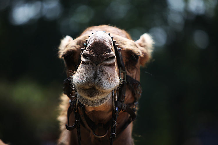 Close-up of camel