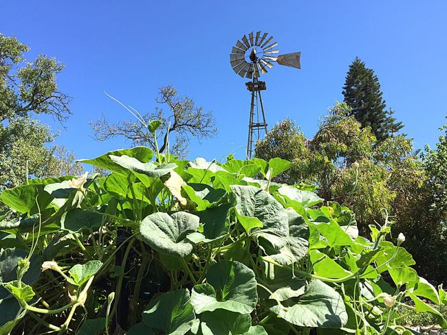 Overseeing Windmill Windmill Metal Sky Old Blades Energy Vanes Mill Rotating Rotational Energy Green Leaves Plants Towering Garden Bush Leaves Green Flora Tropical Plants
