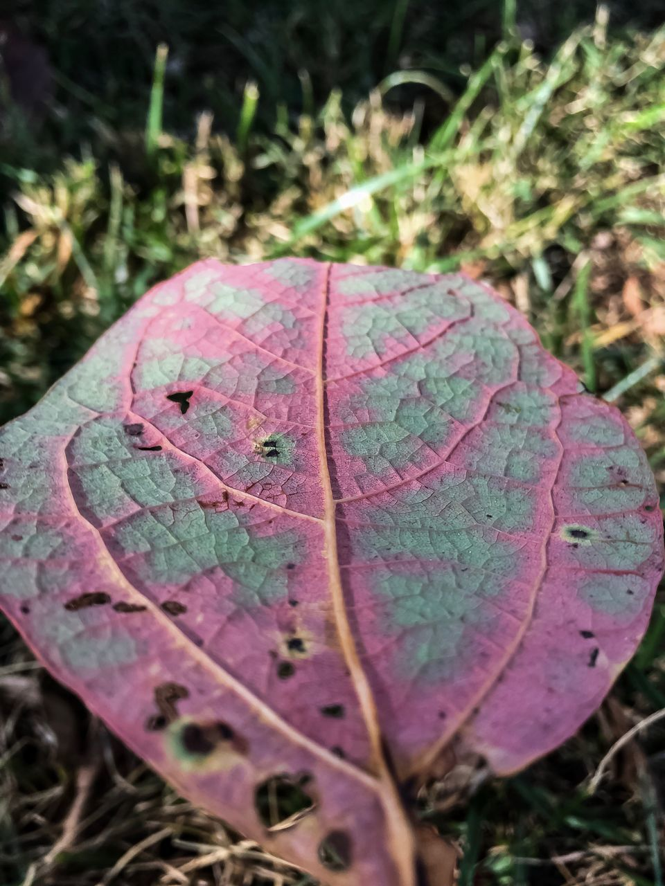 leaf, nature, day, outdoors, dry, autumn, close-up, no people, beauty in nature, change, growth, fragility, grass, maple, freshness