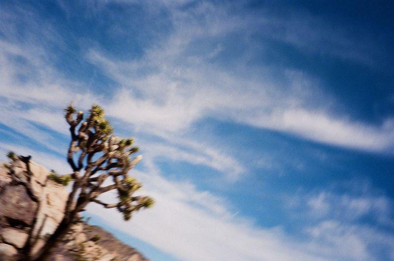 Joshua Tree Tree Plant Sky Low Angle View Cloud - Sky Nature Growth