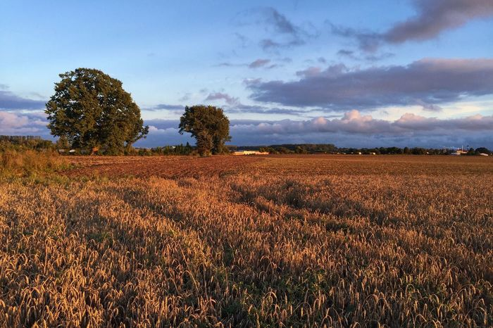 Fields Of Gold - Pierwoszyno 23 August 2016 ( IPhone 6+ ) Agriculture Beauty In Nature Composition Evening Evening Sky EyeEm Best Edits EyeEm Best Shots EyeEmBestPics Field Golden Hour Growth Landscape Master_shots Nature Outdoors Poland Rural Scene Scenics Sky Summer Tranquil Scene Tranquility