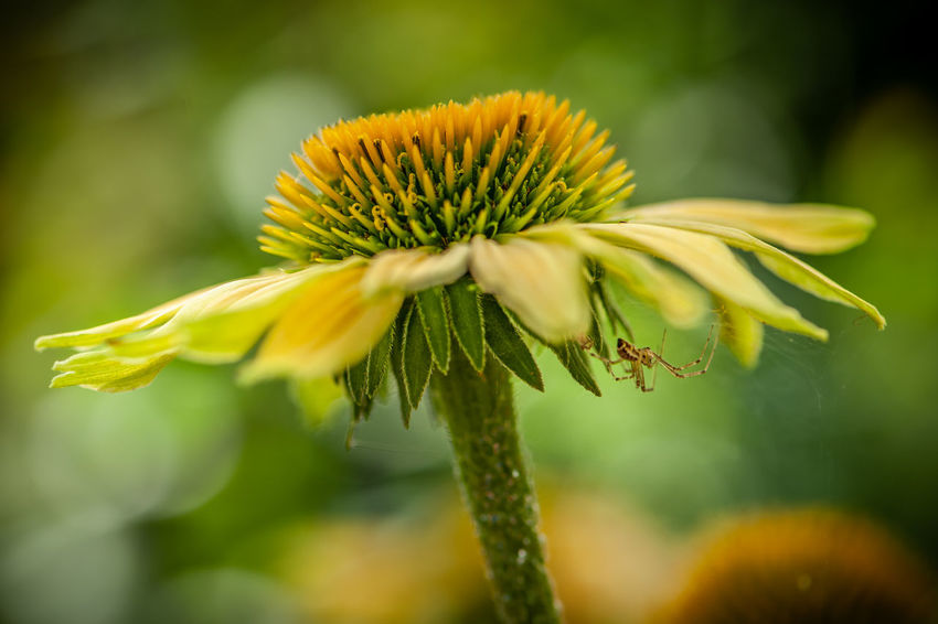 Spider Beauty In Nature Close-up Coneflower Day Echinacea Flower Flower Flower Head Flowering Plant Focus On Foreground Fragility Freshness Growth Inflorescence Nature No People Outdoors Petal Plant Pollen Selective Focus Sepal Vulnerability  Yellow