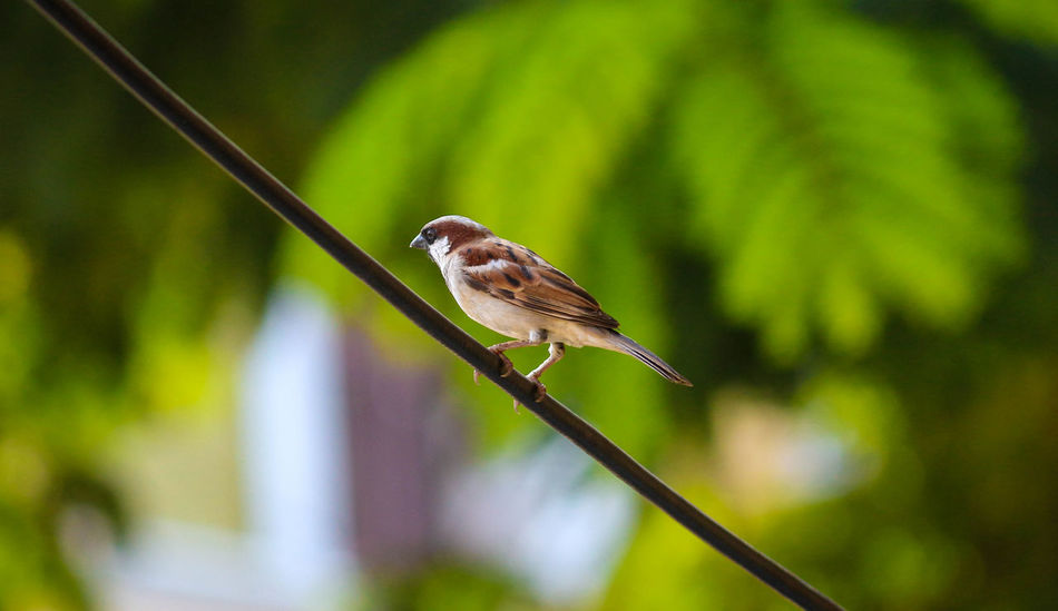 Housesparrow House Sparrow House Sparrows Birds Bird Bird Photography Birds_collection Birdwatching Birds Of EyeEm  Birds🐦⛅ Bird Watching Birds Eye View EyeEm First Eyeem Photo EyeEm Gallery EyeEm Best Shots EyeEm Team Eyeem Market EyeEm Masterclass Chennai Tamilnadu India EyeEm Birds EyeEm The Best Shots Eyeem Photo