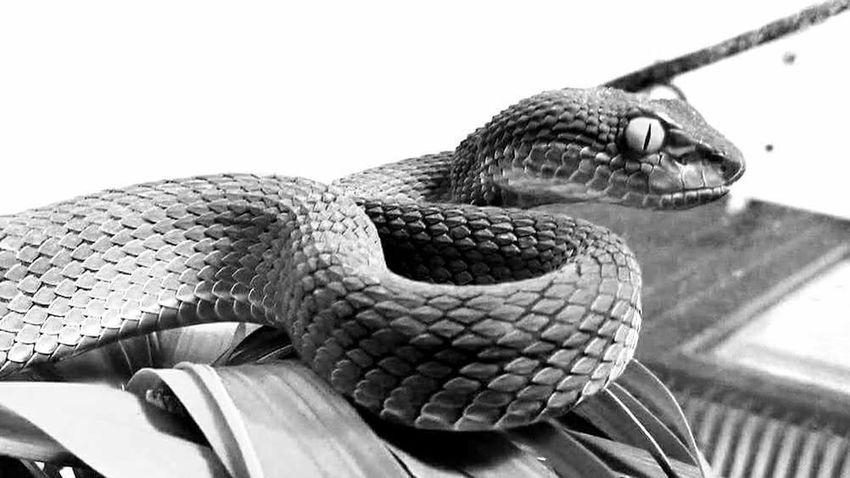 Black And White Friday Reptile One Animal Animal Animal Themes Animal Scale Close-up Venomous Snake Trimeresurus Macrops Venomous Hobby Nature Reptile Photography Scales