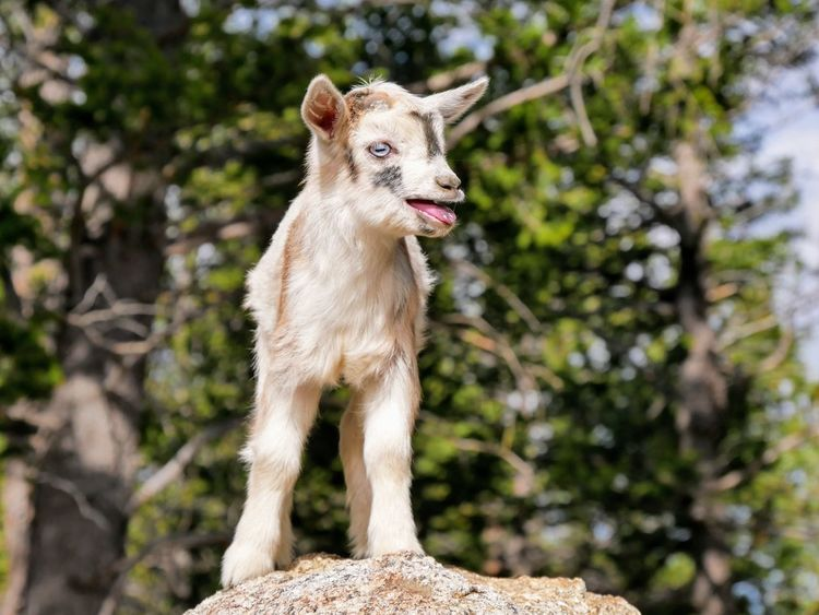 One Animal Animal Animal Wildlife Mammal Outdoors Alertness Goat Baby Goats Goats Farm Animals Daytime Dog Animals In The Wild Pets Animal Themes Tree No People Domestic Animals Protruding Nature Wolf Day Nature