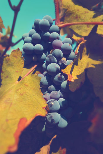 GRAPES No People Day Outdoors Nature Close-up Water Beauty In Nature Sky Tantebellecose Grape Grapes Grapes Nature Photography Grape Vine Grapefruit Beautifulcolors Followme Photograph Colorful Photographyislifee Photography Simmetry, Photographer Tagsforlikes Nature Grapeleaves