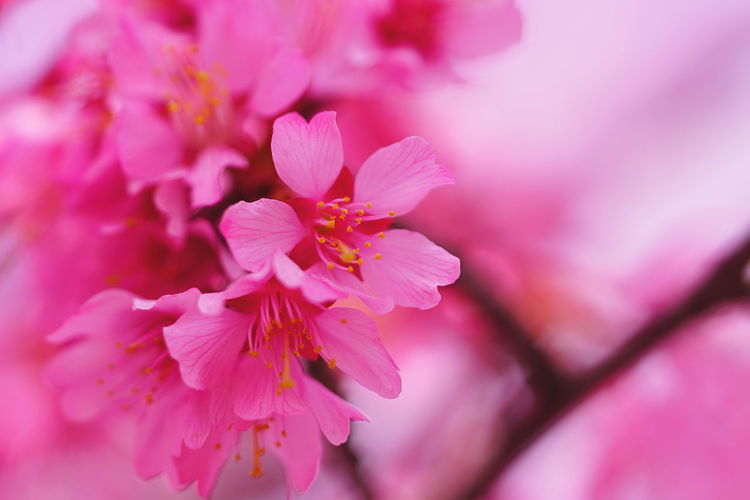 Blooming deep pink prunus 'Okame' オカメザクラ Beauty In Nature Blooming Close-up Flower Focus On Foreground Fragility Japan Photography Nature Millennial Pink Outdoors Pink Color Sakura Springtime