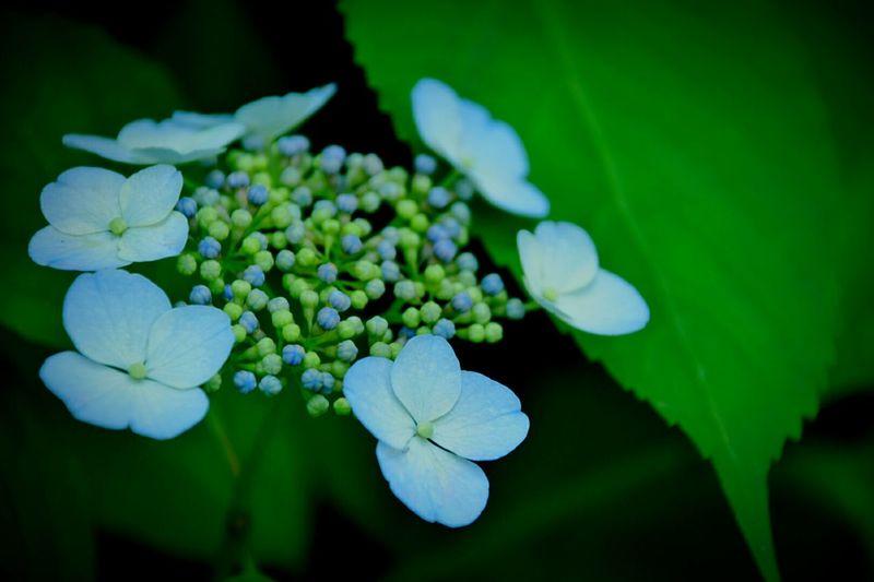 Hydrangea あじさい Flowers,Plants & Garden Blue Flowers Osaka,Japan 植物園