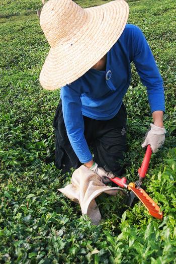 Farmer harvesting tea crops in field