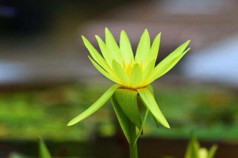 睡蓮 Flower Focus On Foreground Freshness Flower Head Beauty In Nature