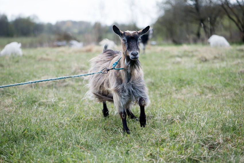 Agriculture Animal Themes Backgrounds Business Finance And Industry Cattle Breeding Day Domestic Animals Farm Field Focus On Foreground Goat Goats Grass Latvia Livestock Looking At Camera Mammal Nature No People One Animal Outdoors Pasture Portrait Standing