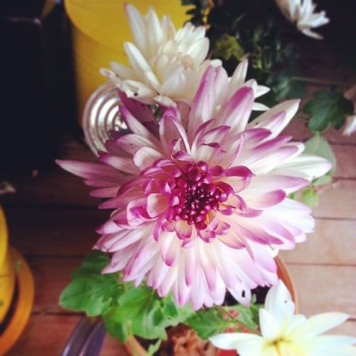 Flower Chrysanthemum Mothersdayflower